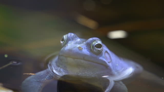 CLOSE UP: Frog video