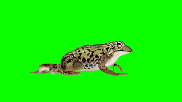 Frog Walking Green Screen (Loopable) Side View Chroma Key frog stock videos & royalty-free footage