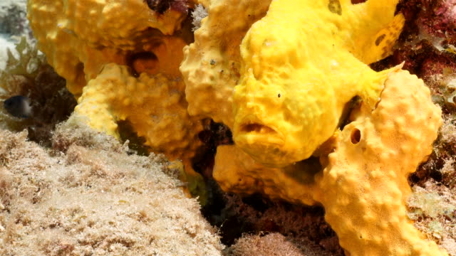 Frogfish in coral reef of Caribbean Sea around Curacao Yellow Frogfish on yellow sponge at scuba dive around Curaçao /Netherlands Antilles leeward dutch antilles stock videos & royalty-free footage