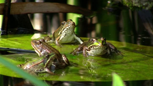 Frogs in pond on water lily Frogs in pond on water lily frog stock videos & royalty-free footage
