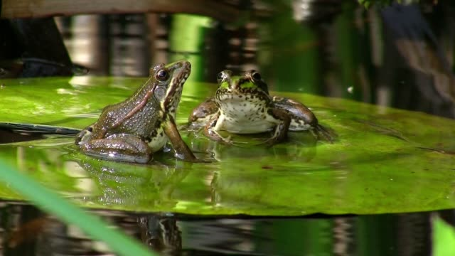 Frogs in pond on water lily video