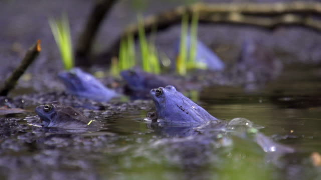 SLOW MOTION: Frogs mating SLOW MOTION: Frogs mating frog stock videos & royalty-free footage