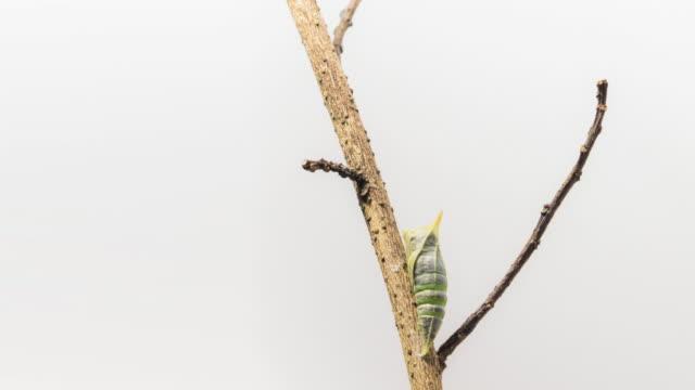 from a pupa to a butterfly - farfalla ramo video stock e b–roll