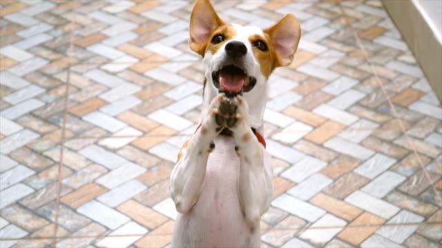 slomo フロント ジャック ラッセル物乞いを表示します。 - イヌ科点の映像素材/bロール
