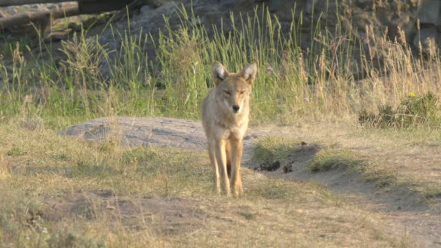 vídeos de stock e filmes b-roll de front view of a coyote in the lamar valley of yellowstone - coiote