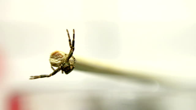 Front view of big venomous spider crawling across stick surface. UHD Sony 4k shoot video