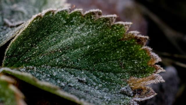 мороз, hoar на листья поверните на роса замедленная - иней замёрзшая вода стоковые видео и кадры b-roll