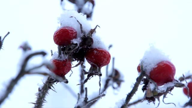 Frozen berries under snow