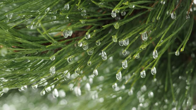 Frozen drops of water on a pine tree branch. Winter natural background.