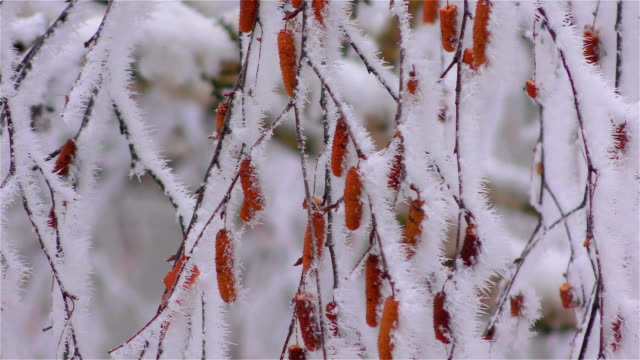 Frozen fog on tree branches  resembling icy flowers video