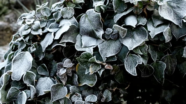 Frozen leaves covered by ice coating video