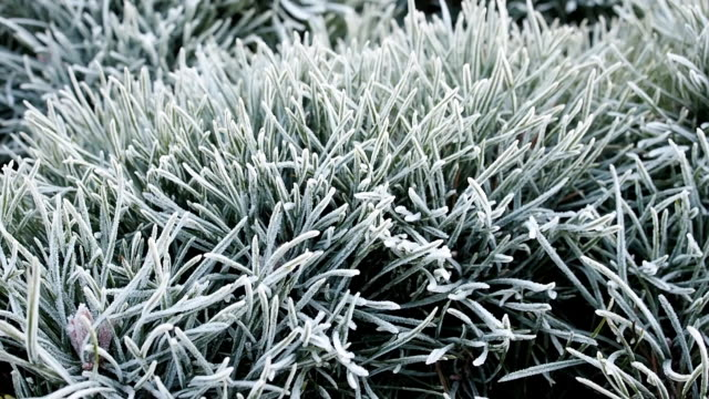 Frozen needles covered by ice coating video