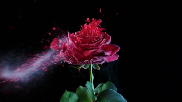 SLO MO LD Frozen red rose being shattered