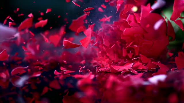 SLO MO Frozen red rose blossom shattering on black surface