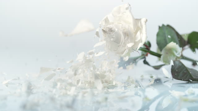 SLO MO Frozen white rose breaking into pieces video