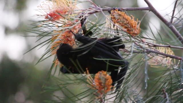 frukt bat hängande grevillea tree slickar balticconnector australien gold coast - pollinering bildbanksvideor och videomaterial från bakom kulisserna