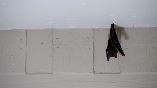 vídeos y material grabado en eventos de stock de murciélago de frutas, kalang, o kalong colgando bajo el techo de la casa - halloween covid
