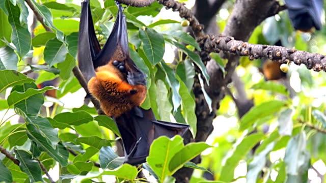 Fruit bat on the tree. video