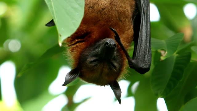 Fruit bat on the tree video