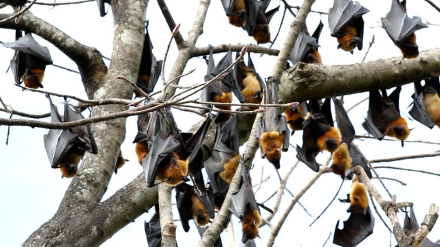 fruit bat video