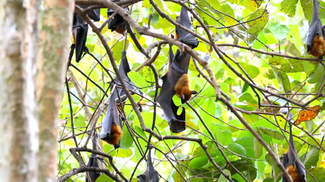 fruit bat - horseshoe stock videos & royalty-free footage