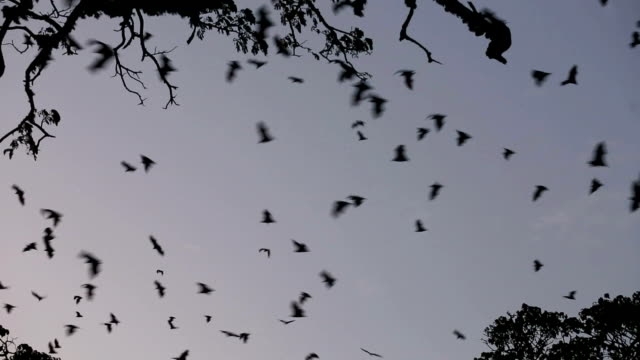 Fruit bats (flying foxes) fill sky at dusk video