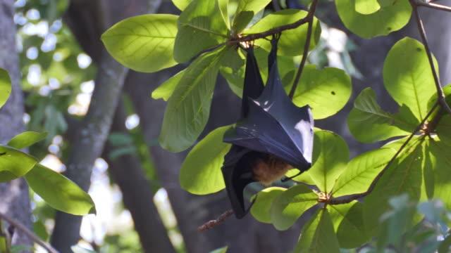 Fruit Bats Hanging Upside Down on tree. video