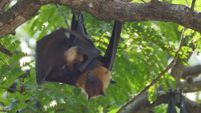 Fruit Bats Hanging Upside Down with its cub. video