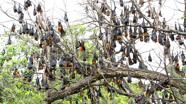 Fruit Bats hanging video