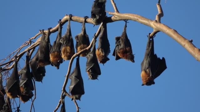 Fruit bats video