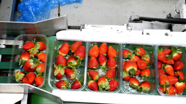 fruit farm with automated line for packaging strawberries. - packaging video stock e b–roll