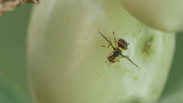 fruit fly cleaning the head around the tomato video