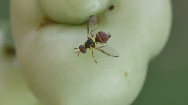 fruit fly cleaning the leg around the tomato video