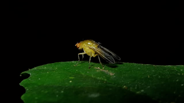Fruit Fly Exterminators on leaves. video
