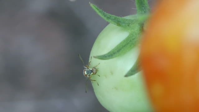 fruit fly is laying eggs video