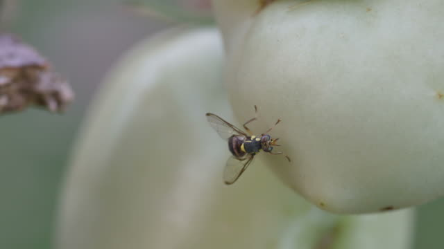 fruit fly resting around the tomato video
