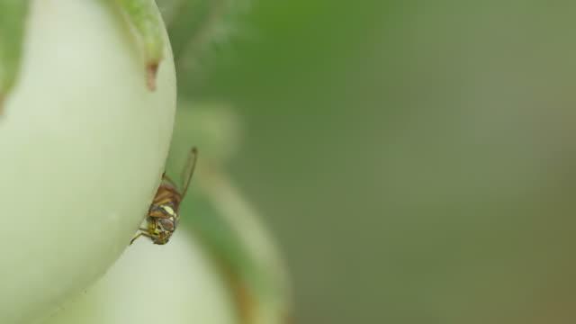 fruit fly surveying around the tomato video