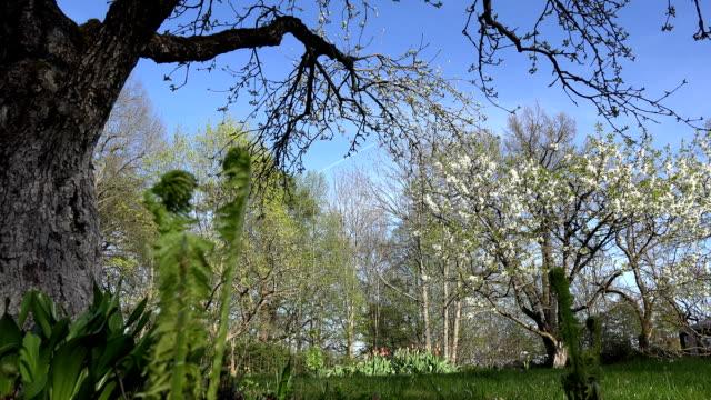 fruit tree branch blooms, fern buds in spring time garden. FullHD video