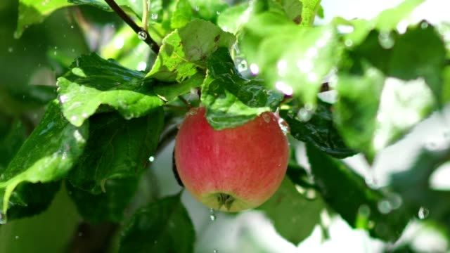 Fruit tree. Juicy red apple with rain drops on the tree branch
