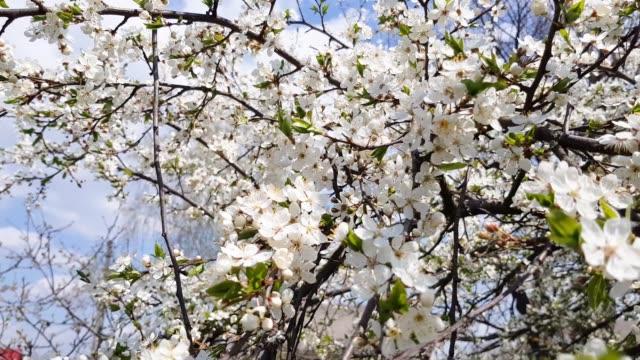 Fruit trees bloom beautifully video