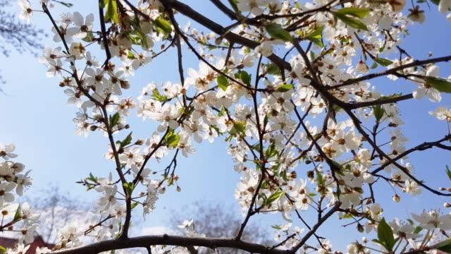 Fruit trees bloom beautifully. video