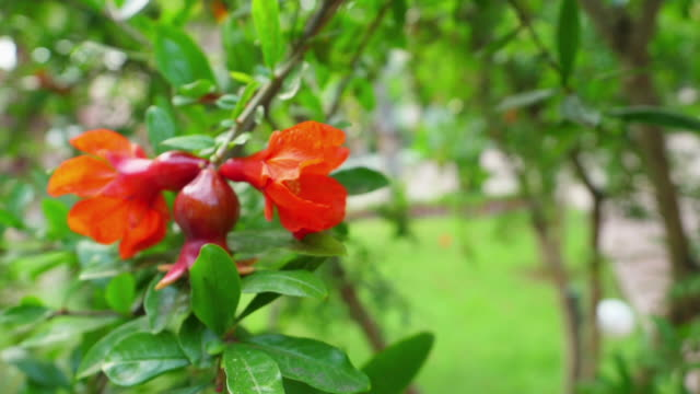 Fruits of a garnet tree.