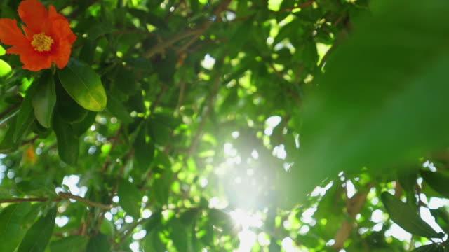 fruits of a garnet tree. - ogród formalny filmów i materiałów b-roll