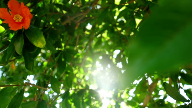 Fruits of a garnet tree. video