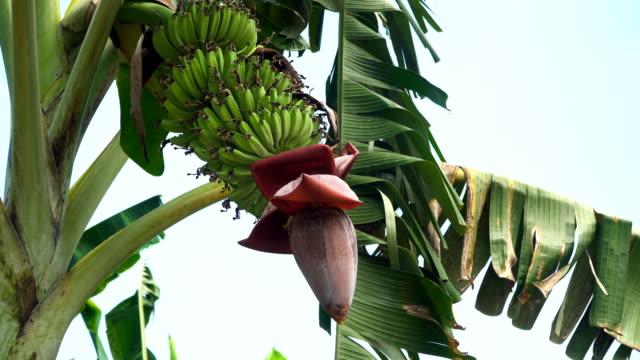 Fruits of bananas on a banana tree video