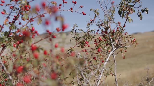 ネズミ計画のカメラの動きと赤いローズヒップの果実 - イヌバラ点の映像素材/bロール
