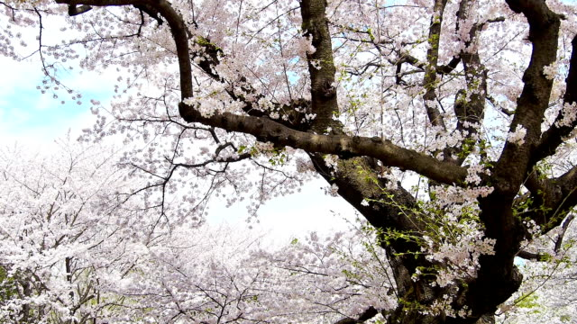 Full blooming of aged cherry tree. 1080p. video