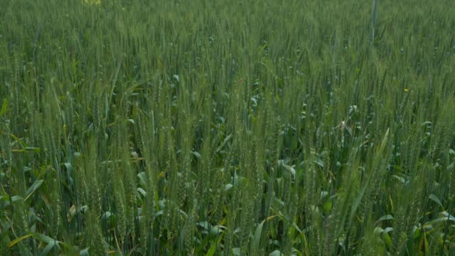 Full Frame UHD Video Of Wheat Field video