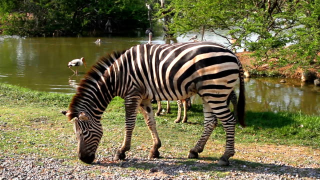 Full HD Video Without Sound: Zebra is eating video
