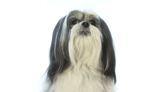 Full HD with sound of a Lhasa Apso dog barking video